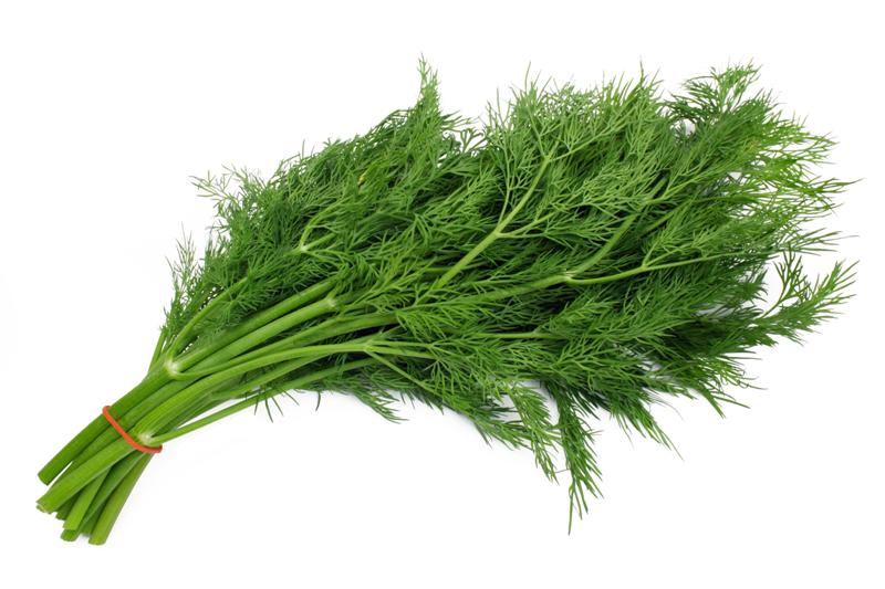 Dill Herb Plant
