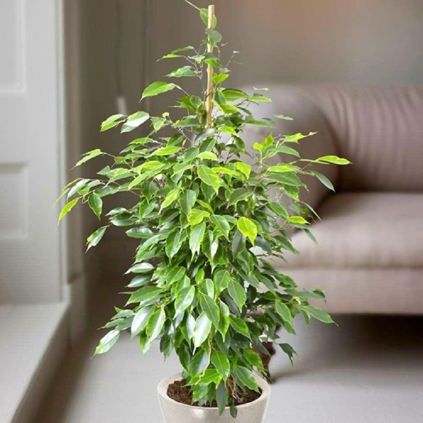 Ficus (Weeping Figs)