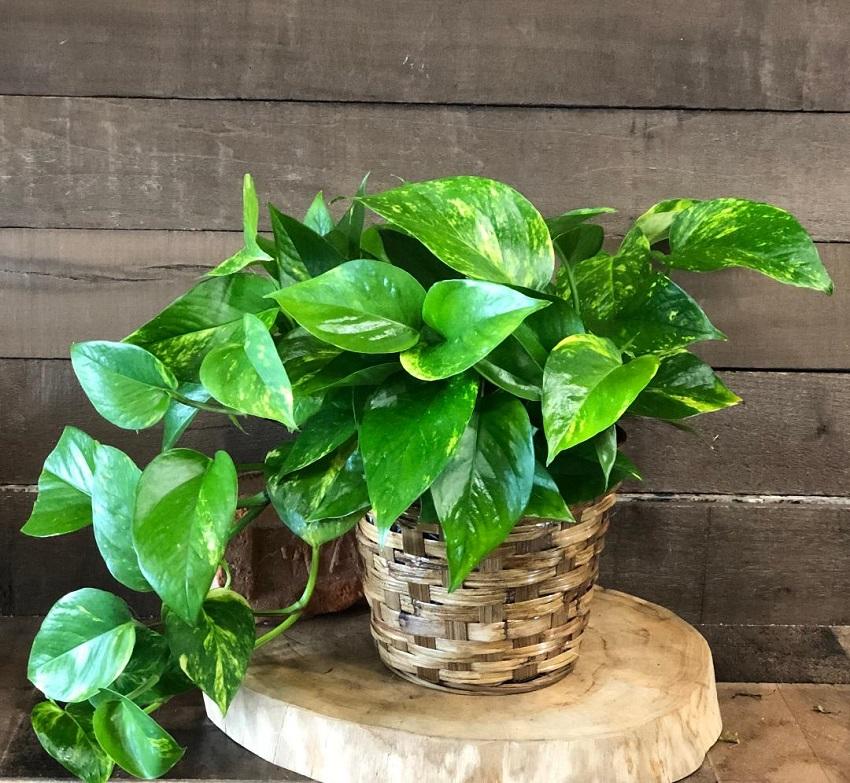Money Plant (Pothos)