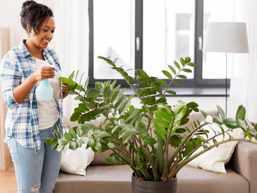 ZZ Plant (Zamioculcas Plant)